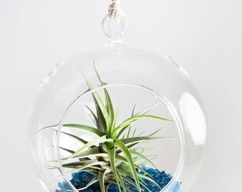 SALE! Air Plant in the Blue Shimmering Dome (Blooming!)