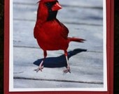 Cardinal photo card, red bird, spring, summer, small card, red and black, nature, colorful, blank card