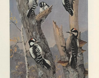 Woodpeckers: Northern Downy, Hairy, Harris's, Vintage Bird Print, Brooks Ornithology 57, 1939, Forest Cabin Decor, Country Cottage Decor