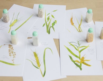 grasses of fields (wheat, corn, rice, oats, rye, barley, millet), set of watercolor postcards, montessori cards