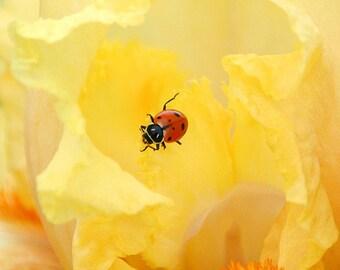Ladybug Photography, red lady bug on yellow iris flower, nursery decor, nature photography, fine art insect print