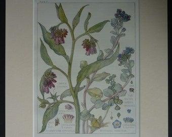 1910 Antique Botanical Print of Medicinal Herbs Comfrey and Lithospermum Wild herbal decor, natural history art - Alternative Medicine Gift