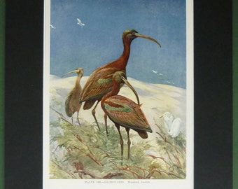 1930s Vintage Ornithology Print of a group of Glossy Ibis Beautiful bird art by Winifred Austen, family of wading birds, Antique Beach Decor