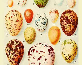 23 Birds Eggs Vintage bird Print Edwardian art home decor wall art old prints Natural History A4 art print nature print vintage prints