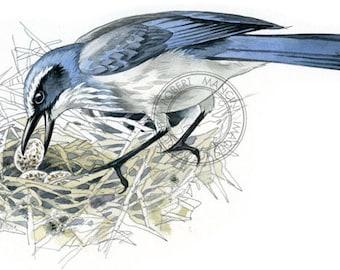 Scrub Jay (Florida) watercolour - bird art, wildlife art - nature print of original artwork