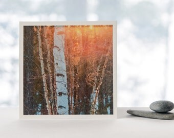 Birch Tree fine art photography print, nature photography, Northwest Territories, winter photograph, square print