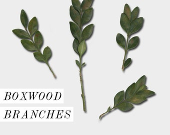 Boxwood Branches - real photo clip art, photorealistic, christmas, holiday, botanical, personal and commercial use, Christmas clip art
