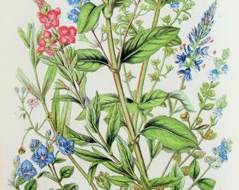 Anne Pratt Antique Botanical  Print - Speedwells, Veronica, Brooklime (150)