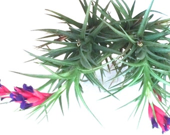 Large Blooming Air Plant