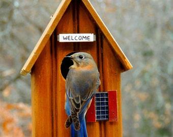 Bluebird Photos, FREE SHIPPING, Bird Photography, Bluebird Wall Art, Fine Art Photography,Home Decor,Wall Prints