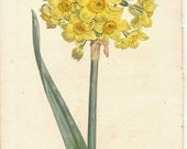 Antique Botanical Hand-colored Engraving, William Curtis, Yellow Garden Narcissus, 1807