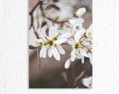 White Spring Tree Flower Blossoms Fine Art Nature Photography Print