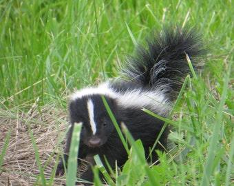 Skunk Print, Skunk Photo,Animal Photos, Country Photography, Baby Skunk Photo