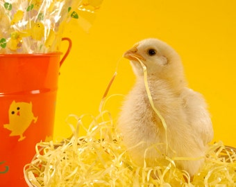 Chicken, Easter, Yellow, Basket, Bird, Chick