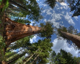 Sequoia Tree, Yosemite National Park