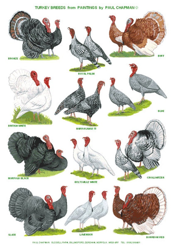 A4 Laminated Posters. Breeds of Turkey