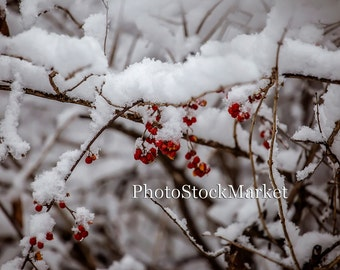 Winter Berries  Photoshop Backdrop - Photography Backdrop - Snow Covered Red Berries