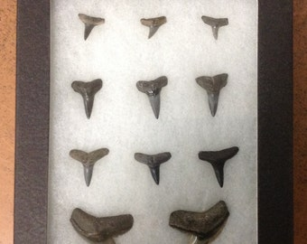 Fossilized sharks teeth in case