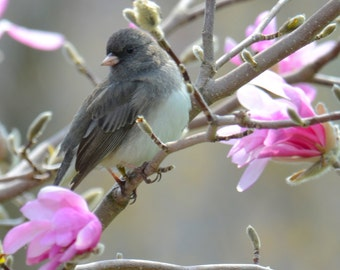 """Bird and flowers, wild bird photo, Dark-eyed Junco, Magnolia blossoms Title : """"In Spring's Fragrance"""""""