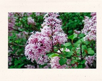 Lilac Photo Greeting Card, 5x7 Note card, Original Photography, Floral Images, All Occasion Card  #18