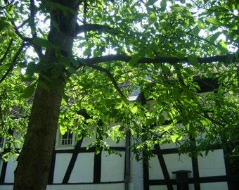 Timber tree, original photography: 20 x 30 cm