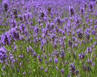Lavender Seeds Organic Herb Seeds Lavender Drug fragrant #532