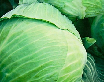 Cabbage seeds Stone Head Organic Heirloom Vegetable Seeds from Ukraine #327