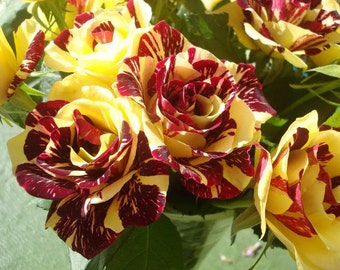 very rare simsalabim rose 1 live plant