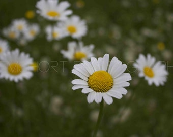 Daisies in a Field 2- Digital Download - Photography by GemShort Photography
