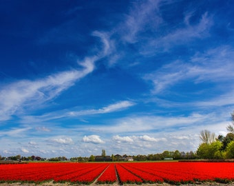 Red Tulips Photograph, Amsterdam, Netherlands, Spring, Vintage Picture, Blue Sky, Red flowers, Landscape Photography