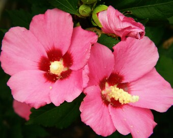 Pink Hibiscus Canvas