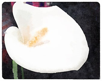 Cala Lily, white, black, watercolor paper, magenta, home decor, traditional decor, nature photography, archival print, gift under 50