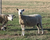 """Custom order for Sue for BFL x Corriedale Raw Fleece  """" JILL"""" super crimpy and other friends."""