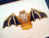 Real Framed Kerivoula Picta Painted Bat Orange Black Halloween Shadowbox Display B1307-A