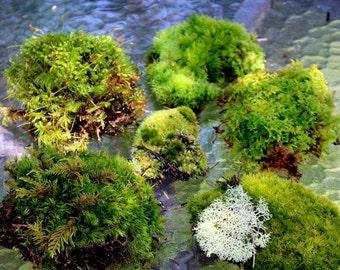 LIVE Moss-Sheet Moss-Weird and wild mixed up moss-Snack bag full-Terrariums-Pillow moss-Mood moss-Fern moss-Feather moss