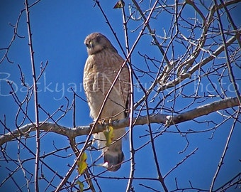Red Shouldered Hawk Note Card, Wildlife Photograph, Raptors, Wildlife Note Card, Nature Photography, All Occasion Card,