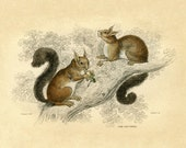 Antique Squirrel Print - Woodland Vintage Illustration - Natural History Art - Sepia Tone Monochrome Vintage Print