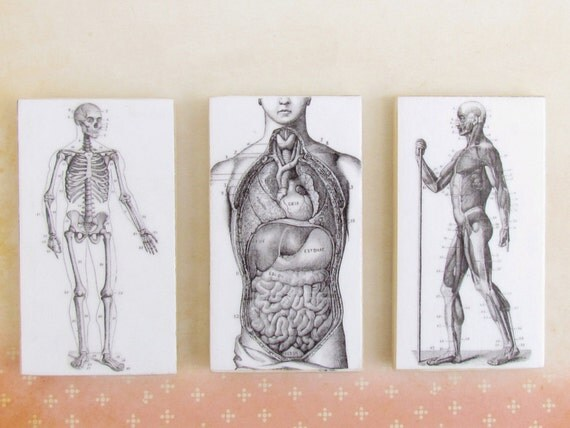 Anatomical Images Magnets Set of 3 - Mid Section - Muscle Origin - Skeleton Anatomy Magnet Set - Refrigerator Magnets - Dorm Decor