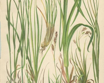 Carex: Tawny Sedge, Evergreen Sedge, Alpine Sedge, Blue, 1906 Antique French Botanical Book Plate 3, Country Cottage Decor, Library Decor