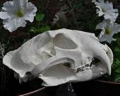 African Leopard Skull - Beautiful Hand Made Skull Replica