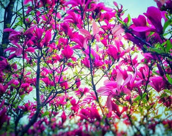 Fine Art Photography - Magnolias - Color Photography