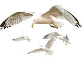 White Gulls with Spread Wings in Flight against a White Sky No.2003 White on White High Key Fine Art Bird Nature Photography