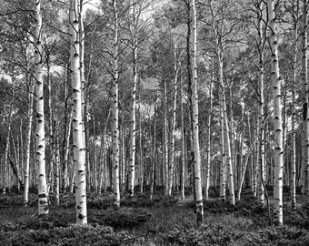 Grove of White Birch Trees in Summer from a Medium Format Film Scan No.BW0008 A Black and White Aspen Birch Tree Landscape Photograph