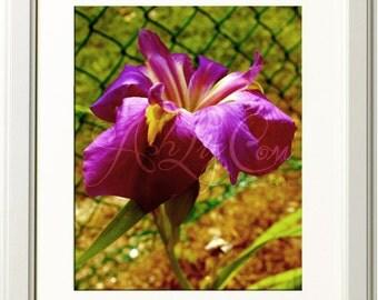 Aged Iris Photograph 11x14 Print