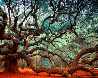 Oak Tree, Tree Print, Wall Art Prints, Charleston SC Art, Charleston, Modern Art, Trees, Angel Oak Photos, Oak Tree Print, Live Oak Tree