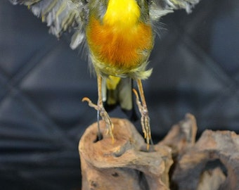 taxidermy of Leiothrix, real  stuff bird ,wing up free shipping to everywhere