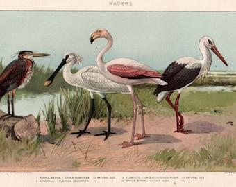Antique Birds lithograph bookplate WADER BIRDS Stork Flamingo Spoonbill Heron Avian Aviary Nature Feathered Framable art Bird prints