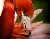 Pink Flamingo, bird photography, pink feathers, fine art photography, various sizes, StrongylosPhoto