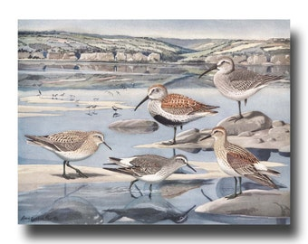 "Coastal Wall Art, 1930s Sandpiper Art (Vintage Bird Print, Seashore Wall Decor) --- ""Sandpipers at Lowtide"" No. 27"