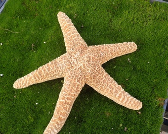 XL Sugar Starfish